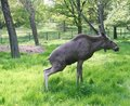 Free Young Bull Moose Reliefing Himself In The Grass. Royalty Free Stock Photography - 20123777