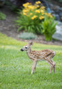 Free Spotted Fawn Stock Image - 20124481