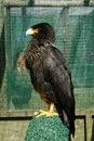 Free Black Caracara Bird Of Prey Stock Images - 20125954