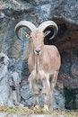 Free Brown Mountain Goat Royalty Free Stock Photo - 20127755