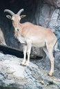 Free Brown Mountain Goat Royalty Free Stock Photos - 20127768