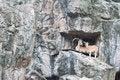 Free Brown Mountain Goat Royalty Free Stock Photos - 20127828
