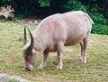 Free Albino Buffalo Royalty Free Stock Photo - 20127995