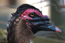 Free Muscovy Duck Royalty Free Stock Photography - 20120537