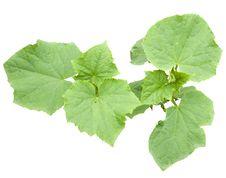 Free Cucumber Plant Royalty Free Stock Image - 20120686
