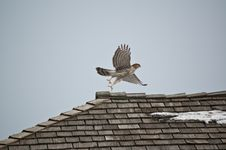 Free Cooper S Hawk Taking Off From A Roof Royalty Free Stock Photography - 20120707