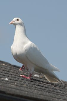 Free Dove On Roof Stock Images - 20120784