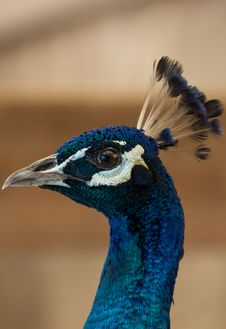 Free Male Peacock Royalty Free Stock Images - 20121059
