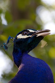 Free Male Peacock Royalty Free Stock Photography - 20121077
