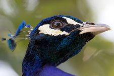Free Male Peacock Stock Images - 20121134
