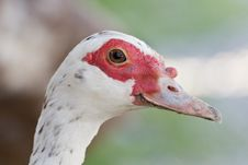 Free Young Muscovy Duck Stock Images - 20121184