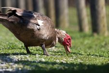 Free Muscovy Duck Stock Images - 20121354