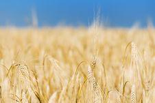 Yellow Wheat Field Stock Photos