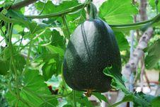 Big Green Pumkin Growing In A Vegetable Garden Stock Image