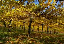 Free Vine Yard In Autumn Royalty Free Stock Image - 20122376