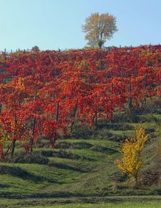 Free Vine Yard In The Autumn Royalty Free Stock Photos - 20122378