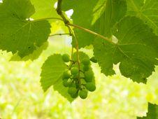 Free Green Grape Stock Photos - 20123053