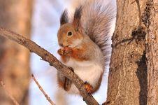Free Squirrel. Stock Photos - 20123143