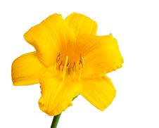 Free Yellow Day Lily. Royalty Free Stock Photography - 20124417