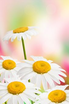 Free Daisies. Stock Photography - 20124422