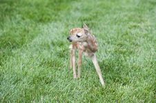 Little Fawn Royalty Free Stock Images