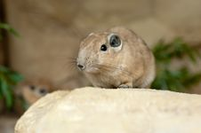Free Close Up Of A Gundi Royalty Free Stock Photo - 20124725