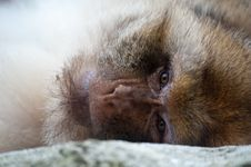 Free Barbary Ape Stock Photography - 20124742