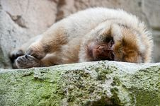 Free Barbary Ape Royalty Free Stock Images - 20124759