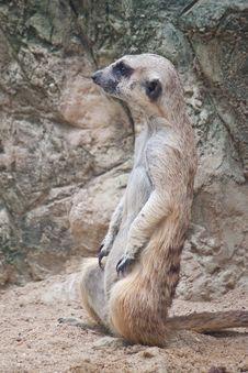 Cute Of Meerkat Close Up Stock Photo