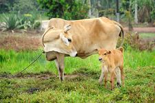 Free Cow And Her Calf Royalty Free Stock Photos - 20125508
