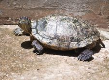 Free Red Ear Turtle Royalty Free Stock Images - 20125539