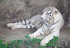 Free White Tiger Stock Photos - 20125693