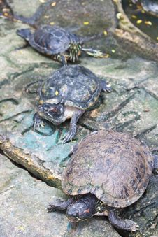 Red Ear Turtle Royalty Free Stock Photography