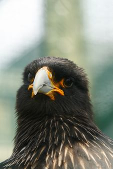 Head Study Of A Black Caracara Bird Of Prey Stock Photography