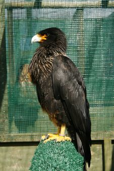 Free Black Caracara Bird Of Prey Stock Images - 20125954