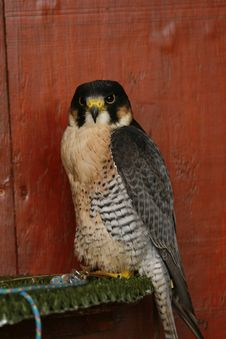 Free Female Peregrine Raptor At Rest Royalty Free Stock Photos - 20125988