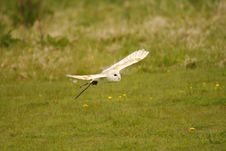 Free Barn Owl Bob Royalty Free Stock Images - 20126019