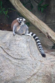 Free Beautiful Lemur Royalty Free Stock Photo - 20126045