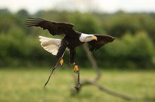 Free Bald Eagle Stock Image - 20126361