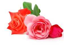 Free Roses Stock Photos - 20126513