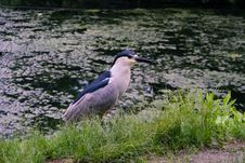Free Black-crowned Night-heron Stock Image - 20127161