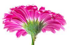 Free Pink Gerbera Stock Images - 20127164