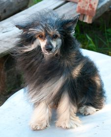 Chinese Crested Stock Photos