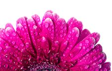 Free Pink Gerbera Royalty Free Stock Photo - 20127255