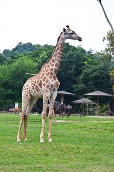 Free Giraffe Royalty Free Stock Images - 20127679