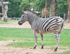 Free Zebra Royalty Free Stock Images - 20127959