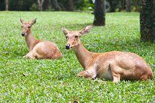 Free Beautiful Deer On Green Grass Stock Photo - 20128030