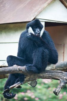 Free White Cheek Gibbon On The Wooden Beam Royalty Free Stock Images - 20128119