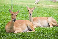 Free Beautiful Deer On Green Grass Royalty Free Stock Photography - 20128167