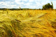 Free Barley Field In Summer Stock Photography - 20128652